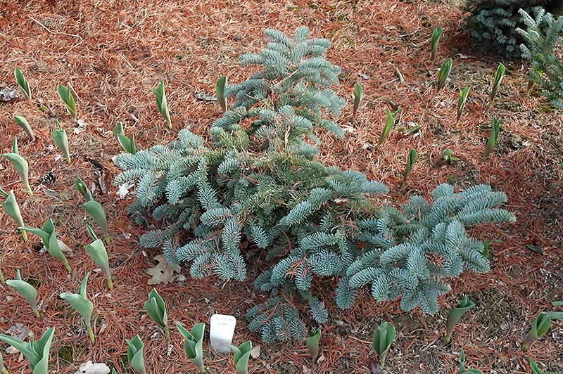 Prostrate California Red Fir Abies Magnifica Prostrata In Drums