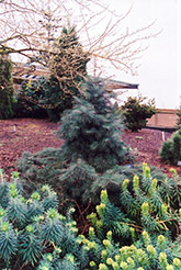 Weeping White Fir (Abies concolor 'Pendula') at Beechwood Gardens