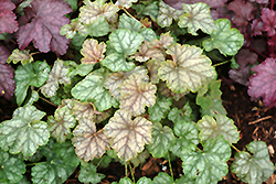 Mint Frost Coral Bells (Heuchera 'Mint Frost') at Beechwood Gardens