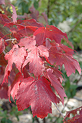 Scarlet Jewel™ Red Maple (Acer rubrum 'Bailcraig') at Beechwood Gardens