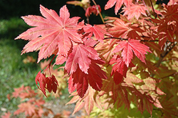 Autumn Moon Full Moon Maple (Acer shirasawanum 'Autumn Moon') at Beechwood Gardens