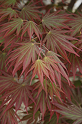 Johin Japanese Maple (Acer 'Johin') at Beechwood Gardens