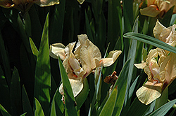 Strawberry Cream Iris (Iris 'Strawberry Cream') at Beechwood Gardens