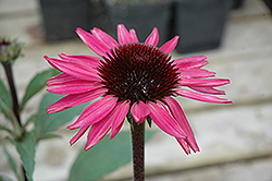 Big Sky After Midnight Coneflower (Echinacea 'Big Sky After Midnight') at Beechwood Gardens