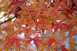 Butterfly Variegated Japanese Maple (Acer palmatum 'Butterfly') at Beechwood Gardens