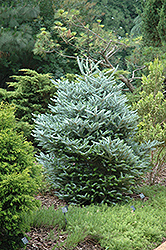 Silver Korean Fir (Abies koreana 'Silberlocke') at Beechwood Gardens