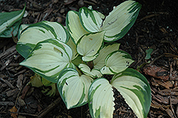 Warwick Delight Hosta (Hosta 'Warwick Delight') at Beechwood Gardens