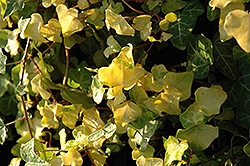 Buttercup Ivy (Hedera helix 'Buttercup') at Beechwood Gardens