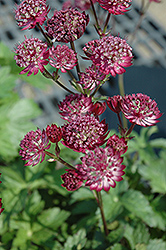Star Of Fire Masterwort (Astrantia major 'Star Of Fire') at Beechwood Gardens