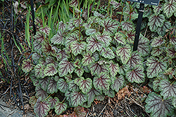Green Spice Coral Bells (Heuchera 'Green Spice') at Beechwood Gardens