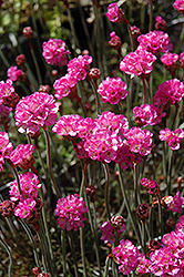 Red-leaved Sea Thrift (Armeria maritima 'Rubrifolia') at Beechwood Gardens