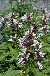 Candy Cat Catmint (Nepeta subsessilis 'Candy Cat') at Beechwood Gardens