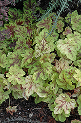 Solar Power Foamy Bells (Heucherella 'Solar Power') at Beechwood Gardens