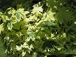 Variegated Norway Maple (Acer platanoides 'Variegatum') at Beechwood Gardens