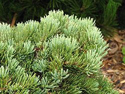 Masonic Broom White Fir (Abies concolor 'Masonic Broom') at Beechwood Gardens