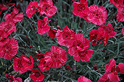 Eastern Star Pinks (Dianthus 'Red Dwarf') at Beechwood Gardens