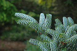 Silver Snow Korean Fir (Abies koreana 'Silver Snow') at Beechwood Gardens
