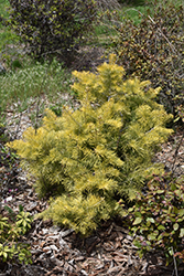 Winter Gold White Fir (Abies concolor 'Winter Gold') at Beechwood Gardens
