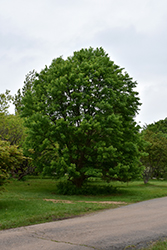 Trident Maple (Acer buergerianum) at Beechwood Gardens