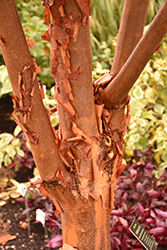Paperbark Maple (Acer griseum) at Beechwood Gardens