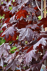 Prairie Splendor Norway Maple (Acer platanoides 'Prairie Splendor') at Beechwood Gardens