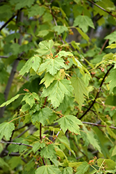 Rocky Mountain Maple (Acer glabrum) at Beechwood Gardens