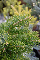 Barabits Star Silver Fir (Abies alba 'Barabits Star') at Beechwood Gardens